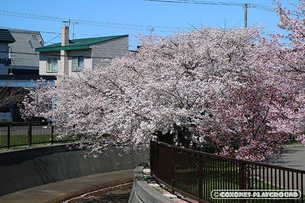 旧軽川緑地の桜並木2