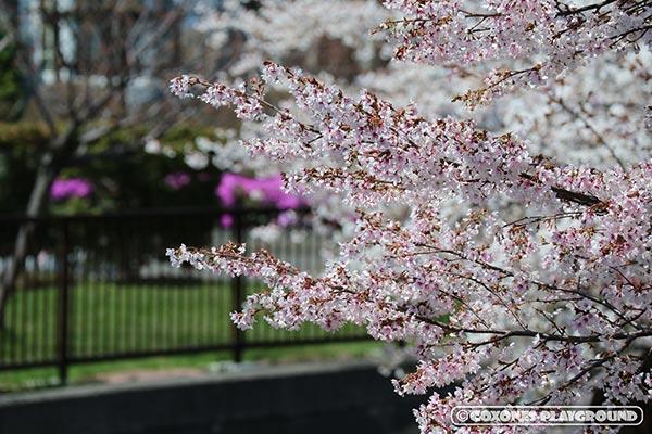 望遠で切り取った旧軽川緑地の桜1