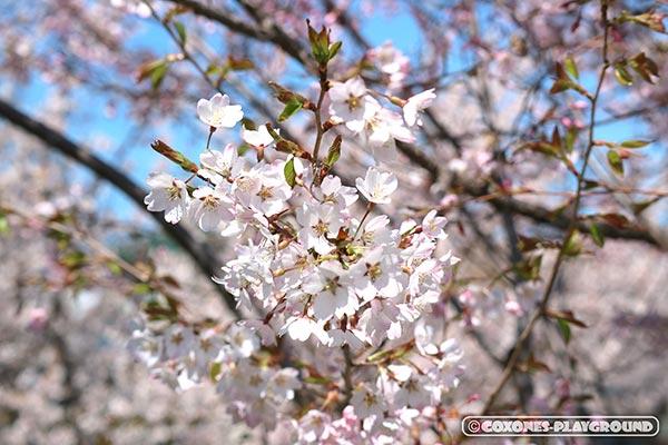 旧軽川緑地の桜の花びら2