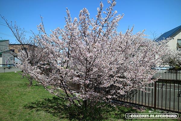 旧軽川緑地の桜の木2