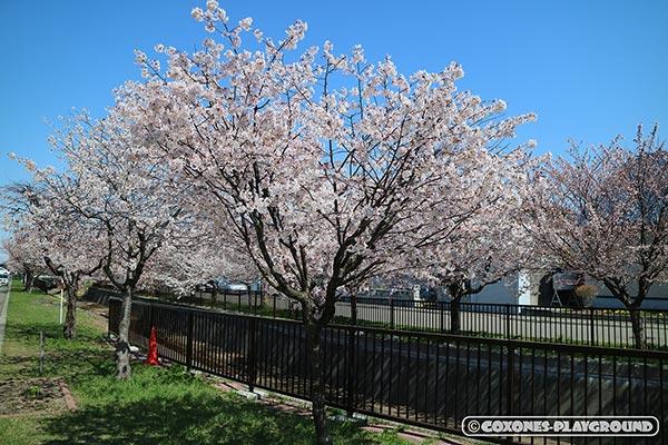 旧軽川緑地の桜の木1
