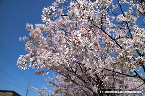 旧軽川緑地の桜の木3