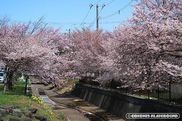 旧軽川緑地の桜並木1