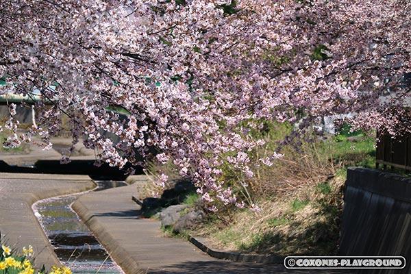 望遠で切り取った旧軽川緑地の桜3