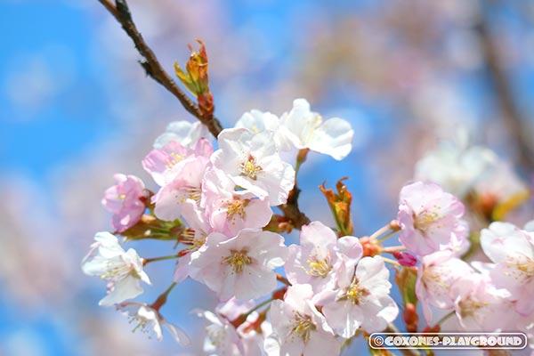 旧軽川緑地の桜の花びら1
