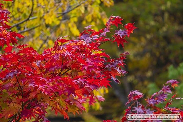 赤く色付く紅葉