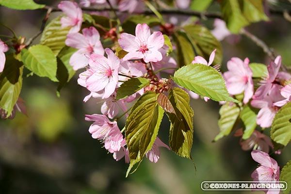 旭山記念公園の桜