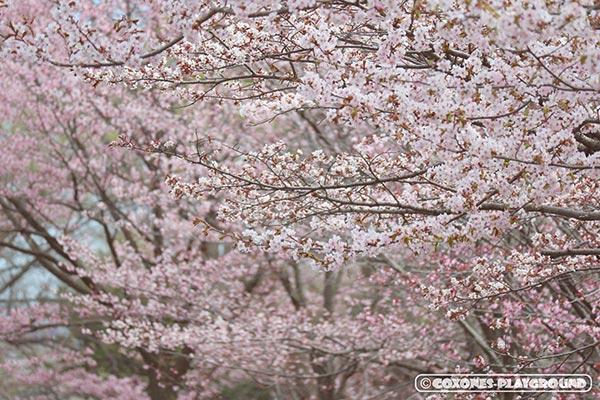 札幌護国神社の桜