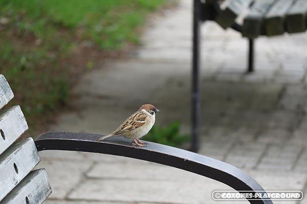 中島公園のベンチで日光浴をしている雀