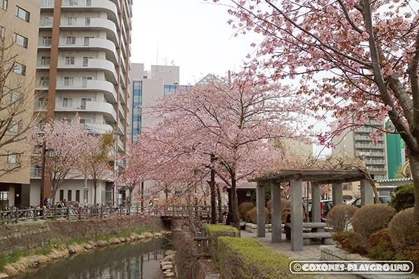 中島公園近くの鴨々川の桜