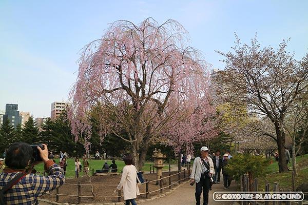 中島公園の日本庭園内にある枝垂桜