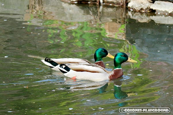 菖蒲池を泳ぐ鴨のつがい
